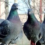 Банда голубей