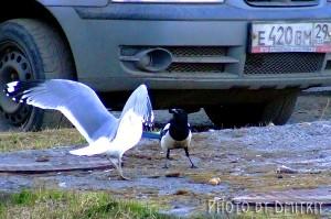 Уличные птичьи разборки