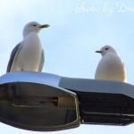 Чайки на фонаре