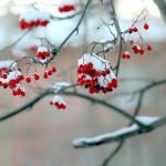 Рябина под первым снегом Осень 2012