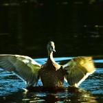 Расправив крылья