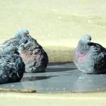 Купания голубей