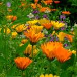 цветки - ноготки