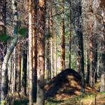 Муравейник в Ягринском лесу