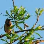 птица Варакушкаптица Варакушка (семейства дроздовых)