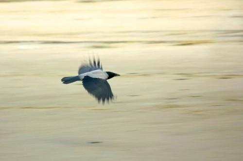 Ворона в полете - Осень 2013 (Фото города Северодвинска)