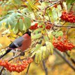 Осенние птицы: снегирь