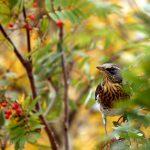 Осенние птицы. Дрозд
